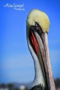 PelicanPhotoWeb